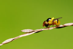 Hoverfly Royalty-vrije Stock Afbeelding