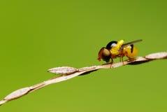 Hoverfly Imagem de Stock Royalty Free