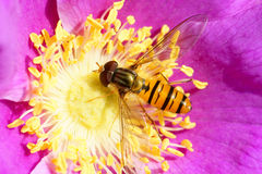 Hoverfly Royalty Free Stock Photography