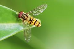 hoverfly Obrazy Stock