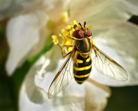 Hoverfly. Crisply detailed macro of hoverfly, or mimmic bee on apple blossom stock image