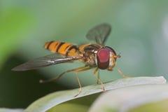 Hoverfly image libre de droits