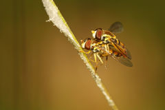 Hoverfly Immagini Stock