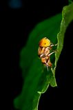 Hoverfly. Spotted Eyes Hoverfly (Family: Syrphidae Royalty Free Stock Photos