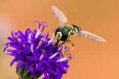 Hoverfly. Hover fly pollinating a flower Stock Images