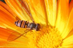 Hoverfly. On the yellow calendula Royalty Free Stock Photography