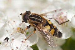 Hoverfly Στοκ εικόνες με δικαίωμα ελεύθερης χρήσης
