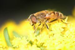 Hoverfly Imagens de Stock Royalty Free