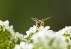 Hoverfly 免版税库存图片