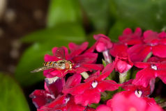 Hoverfly Photographie stock