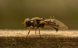 Hoverfly Obraz Royalty Free