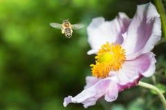 在一朵桃红色日本银莲花属花附近的Hoverfly 库存照片