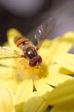 Hoverfly Photos stock