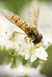 Hoverfly Fotografie Stock