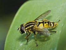 hoverfly Стоковые Изображения