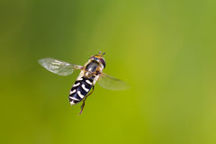 Hoverfly Photos libres de droits