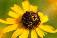 Hoverfly imagem de stock