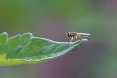 Hoverfly Στοκ Εικόνες