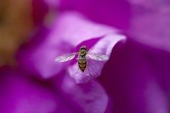 Hoverfly Fotografía de archivo libre de regalías