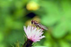 Hoverfly Fotos de archivo libres de regalías