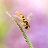 Hoverfly zdjęcie stock