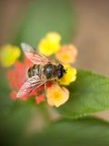Hoverfly Fotografia Royalty Free