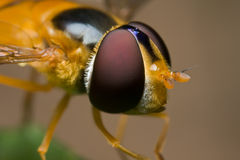 A hoverfly Immagini Stock