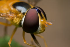 Hoverfly Stock Images