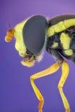 Hoverfly Royaltyfri Foto