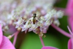 Hoverfly Obrazy Royalty Free