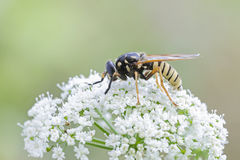 Hoverfly 图库摄影