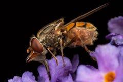 Hoverfly Foto de Stock