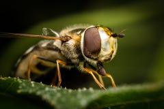 Hoverfly Fotografia Stock Libera da Diritti