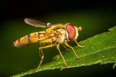 Hoverfly Fotografie Stock Libere da Diritti