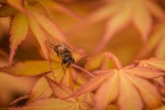 Hoverfly in acero arancio 1 immagine stock