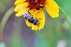 Hoverfly, arbustorum d'Eristalis, sur la fleur de Texas Grenthread photo libre de droits