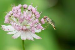 Hoverfly on astrantia flower Stock Photos