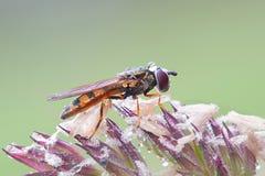 Hoverfly, auch genannt Blumenfliege Stockfotos