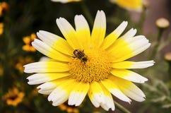 Hoverfly auf der Calendulablume Lizenzfreie Stockfotografie