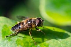 Hoverfly auf einem Blatt Stockfotografie
