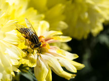 Hoverfly auf einer gelben Chrysantheme Stockfoto