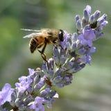 Hoverfly auf einer Lavendelbluetenspitze Lizenzfreie Stockfotos