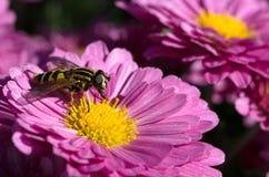 Hoverfly auf einer rosa Chrysantheme Stockbild