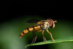 Hoverfly auf grünem Blatt Stockfoto
