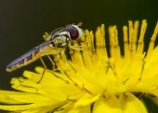 Hoverfly auf Löwenzahn Lizenzfreies Stockfoto