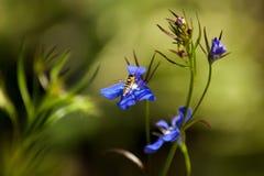Hoverfly auf Lobelia Stockbilder