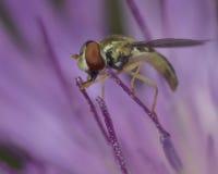 Hoverfly auf purpurroter Blume Stockbilder
