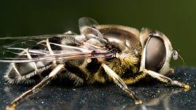 Hoverfly auf schwarzer Farbe mit dem Blütenstaub Lizenzfreie Stockfotos