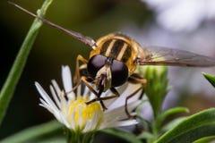 Hoverfly auf weißem Aster-Porträt lizenzfreie stockfotos