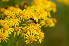 Hoverfly auf Wildflower Stockfotografie